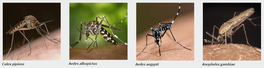 especies de mosquitos roymar